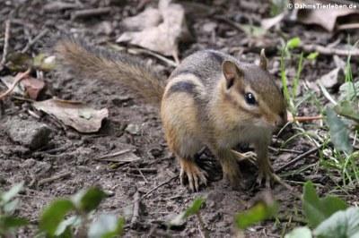 Streifen-Backenhörnchen (Tamias striatus)