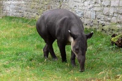 Baird-Tapir (Tapirus bairdii)