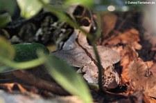 Gabunviper (Bitis gabonica) im Zoo Wuppertal