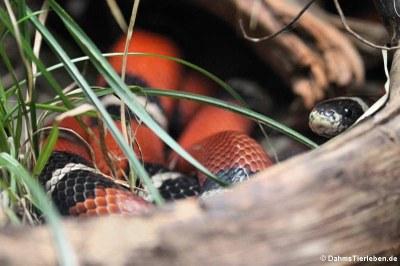 Sinaloa-Dreiecksnatter (Lampropeltis polyzona)