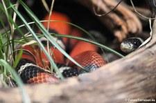Sinaloa-Dreiecksnatter (Lampropeltis polyzona) im Zoo Wuppertal