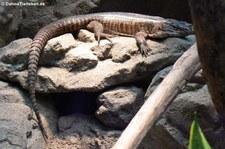 Felsenschildechse (Matobosaurus validus) imZoo Wuppertal