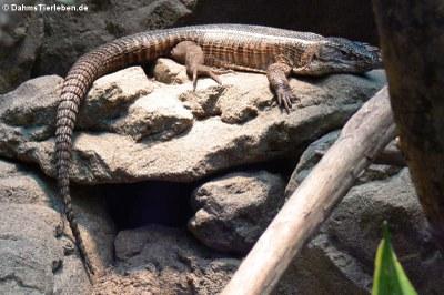 Felsenschildechse (Matobosaurus validus)