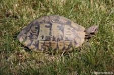 Griechische Landschildkröte (Testudo hermanni) im Zoo Wuppertal