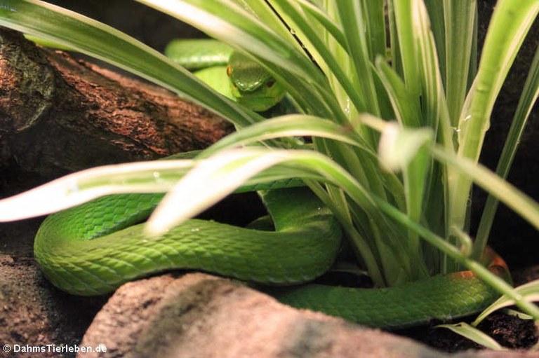 Trimeresurus albolabris